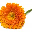 Orange flower isolated — Stock Photo