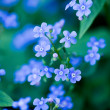 Blue flowers in the garden — Stock Photo #2827454
