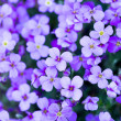 Violet flowers in the garden — Stock Photo