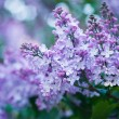 Bunch of violet lilac flower — Stock Photo