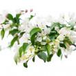 Spring flowers of sakura at the tree — Stock Photo