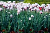 Białe tulipany w ogrodzie — Zdjęcie stockowe