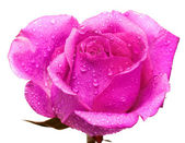 Pink rose with water drops — Stock Photo