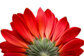 Red flower isolated on white — Fotografia Stock