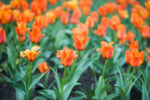 Orange tulip in the garden — Stock Photo