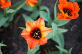 橙色郁金香花园里 — 图库照片