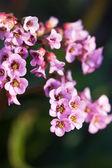 ピンク色の花の庭 — ストック写真