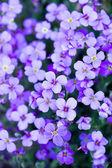 Violetas flores en el jardín — Foto de Stock