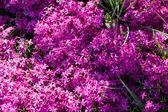 Fleurs violet au jardin — Photo