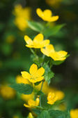 Yellow flowers in the garden — Stock Photo