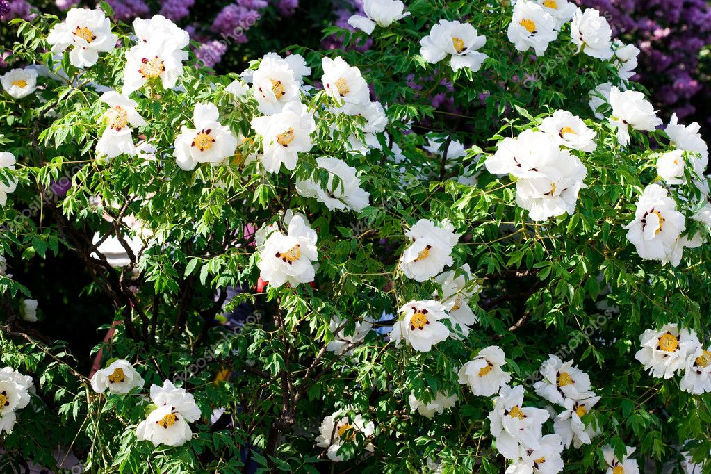 White flowers in the garden   Stock Photo #2827652