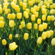 Yellow tulips in the garden — Stock Photo