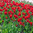 Stock Photo: Red tulips in the garden