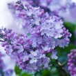 Stock Photo: Bunch of violet lilac flower