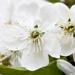 Spring flowers of sakura — Stock Photo