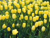 Amarelas tulipas no jardim — Foto Stock