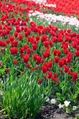 Rode tulpen in de tuin — Stockfoto