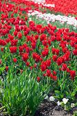 Kırmızı lale bahçesinde — Stok fotoğraf