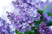Bouquet de fleurs lilas violet — Photo