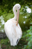 Pelican in the nature close-up — Stock Photo