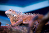Bearded Dragon at the tree — Stock Photo