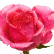 Red rose with water drops - Stock Photo