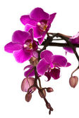 Orchid isolated on white — Stock Photo