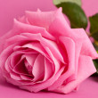 Pink rose on magenta background — Stock Photo