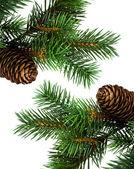 Rama del árbol de navidad en blanco — Foto de Stock