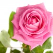 Stock Photo: Pink rose isolated on white background