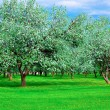 White blossom of apple trees in springtime — Stock Photo