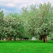 White blossom of apple trees in springtime — Stock Photo #3075461