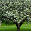 Blooming apple trees garden in spring - Foto de Stock