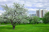 Blooming apple trees garden in spring — Stock Photo