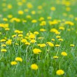 Stock Photo: Vivid spring yellow dandelions