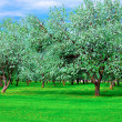 White blossom of apple trees in springtime - 图库照片