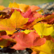 Colorful maple leaves background — Foto Stock