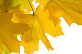 Beautiful autumn leaves isolated — Stock Photo