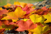 Colorful maple leaves background — Stock Photo