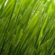 Green grass with dew — Stock Photo #3608038