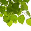 Birch leaves isolated - Stock Photo