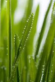 Fresh grass with dew — Stock Photo