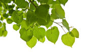 Birch leaves isolated — Stock Photo