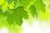 Frame of maple leaves isolated — Stock Photo