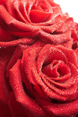 Red roses with water drops — Stock Photo