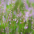 Stock Photo: Heather field background