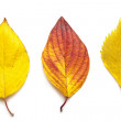 Colorful autumn leaves isolated — Foto Stock