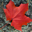 Red autumn leaf — Stock Photo