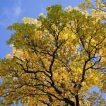 Beautiful autumn tree against blue sky — Stock Photo