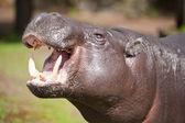 карликовый бегемот — Стоковое фото